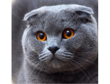 Купить Алмазная вышивка на подрамнике Вислоухий кот 30 х 30 см (арт. TN052)