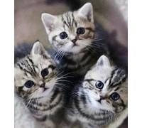 Вышивка стразами Пушистые котята 35 х 40 см (арт. FR607)