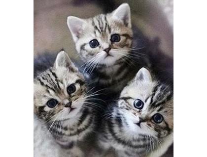 Купить Вышивка стразами Пушистые котята 35 х 40 см (арт. FR607)
