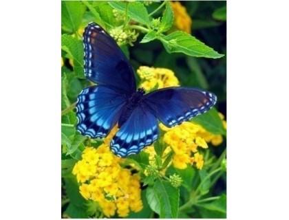 Купить Алмазная вышивка Бабочка-морфо отдыхает 20 х 26 см (арт. FS047)