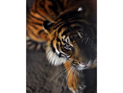Купить Алмазная вышивка Преданный тигр 30 х 40 см (арт. FS256)