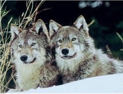 Купить Алмазная вышивка Пара волков 31 х 40 см (арт. FS287)