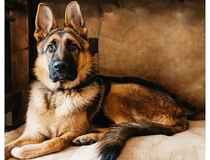 Купить Алмазная вышивка квадратные камни 40 х 50 см Умная собака овчарка (арт. FS875)