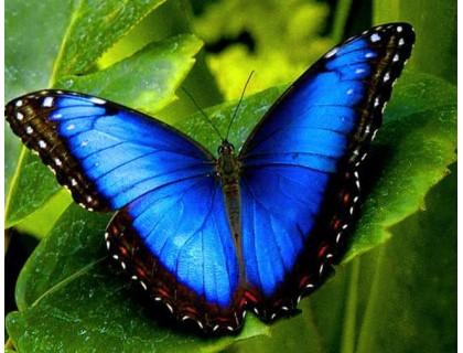 Купить Алмазная вышивка 40 х 50 см на подрамнике Красота бабочки Морфо (арт. TN861)